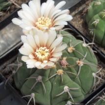 Kaktusi 226
