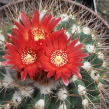 Kaktusi 249