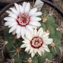 Kaktusi 279